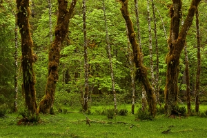 Hoh Rainforest, Oympic National Park, Washington (WA), USA